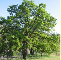 Quercus garryana