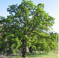 Quercus garryana