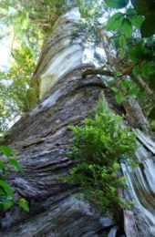 Meares Island Tree Kathy Page